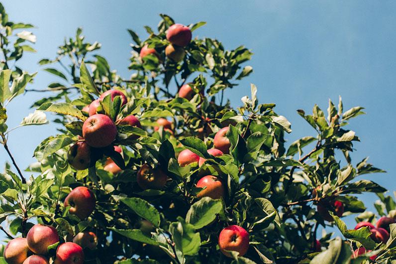 come piantare albero da frutto